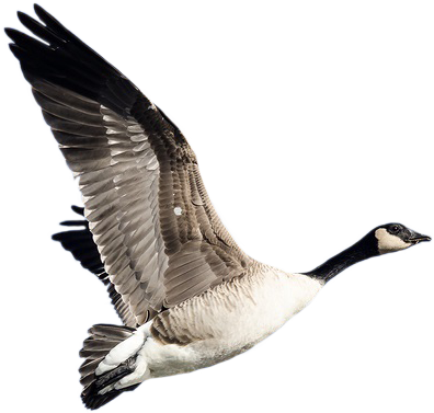 Geese are the Symbol of RBT CPA's
